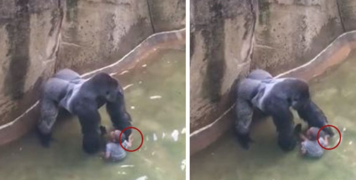 gorila morto reproducao