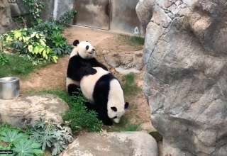 pandas acasalam